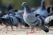 Rock_Pigeon_Columba_livia