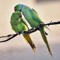 Rose-ringed_Parakeets_(Male_&_Female)-_Foreplay_at_Hodal_I_Picture_0032