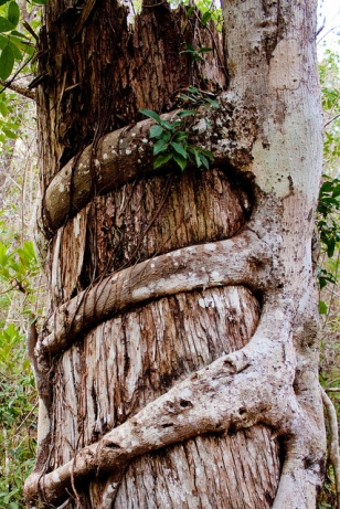 Image results for strangler fig