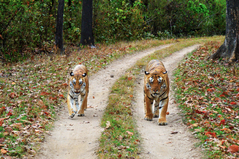 tigers at Kanha National Park, Madya Pradesh.jpg