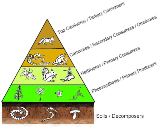 The ecological pyramid, describing trophic layers in the ecosystem.