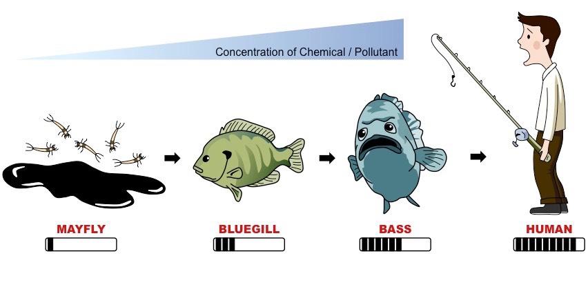 biomagnification
