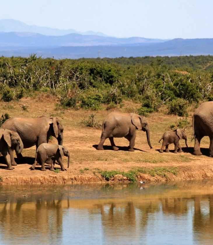 African elephants: An important keystone species