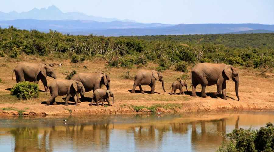 African elephants: An important keystone species